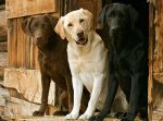 labrador herplaatser gezocht