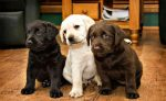 labrador pup gezocht