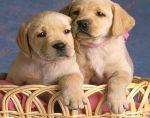 gele pup gezocht