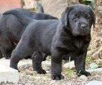 zwarte pup gezocht
