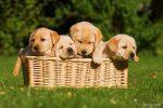gele labradorpup gezocht