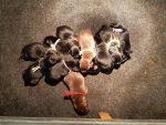 zwarte en bruine labradorpups beschikbaar